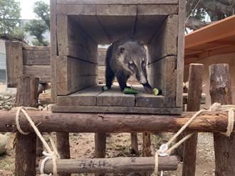 動物園浣熊新遊樂場 小智市長親手蓋的