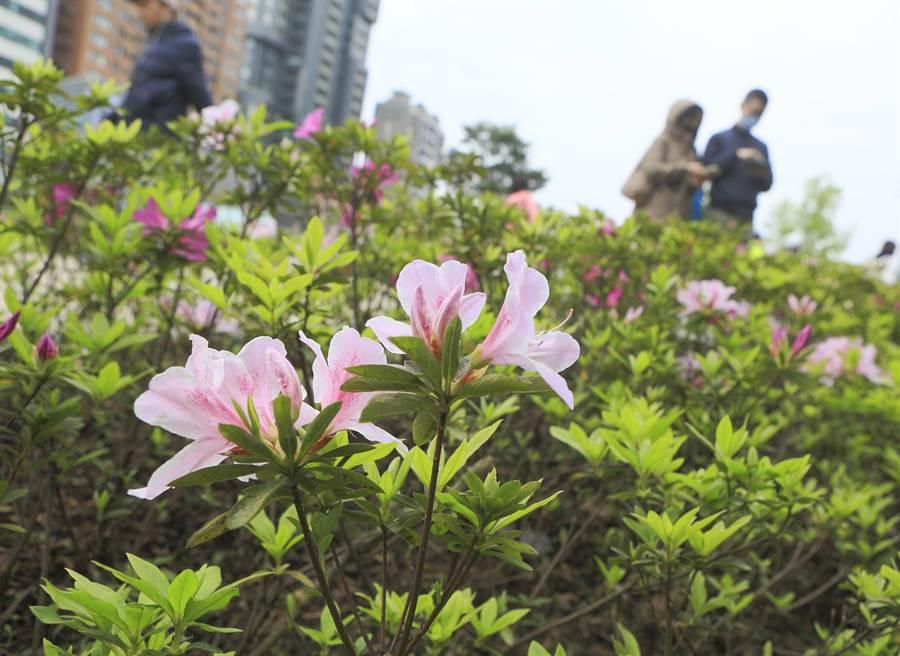 2020台北杜鵑花季在白色情人節14日開跑,邀請民眾趁著假日來欣賞杜鵑花之美,不過受到新冠肺炎疫情影響,許多民眾戴著口罩到大安森林公園內賞花。(張鎧乙攝)
