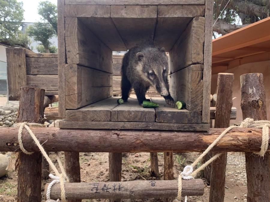 市立動物園內的浣熊近日多了木造橋梁新遊具,是市長林智堅與園方利用剩餘的原木特製,上頭還有林智堅的簽名。(市府提供/邱立雅竹市傳真)