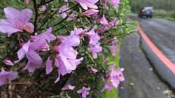 烏來杜鵑盛開中!粉紅、粉白、桃花好浪漫