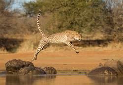 5獵豹不敢渡河 水底藏鱷魚嚇呆