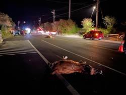 台東再傳人撞牛 牛死女駕駛將開腦救命