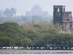 到底怎麼了 台南黑面琵鷺7天來4死1傷
