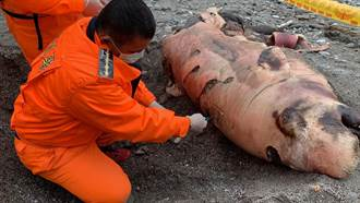 被誤認「海獅」 半截抹香鯨擱淺花蓮海灘