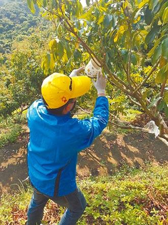 防荔枝椿象危害 霧峰放飛70萬隻小蜂