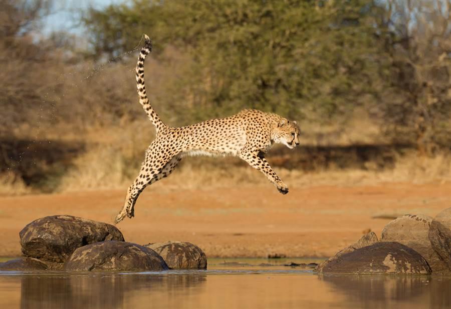 5隻獵豹想至河對岸,但由於河裡有鱷魚,因此讓牠們非常害怕(示意圖/達志影像)