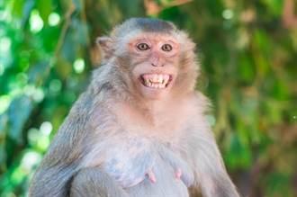 遊客銳減沒食物 泰國猴子餓到手撕辦公樓 人類竄逃