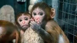 恆河猴接種實驗 陸研究證實新冠病毒可經眼結膜感染