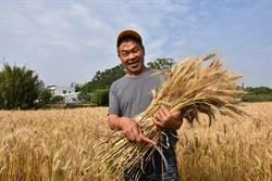 竹北小麥田收割 黃金麥田為提高自給率