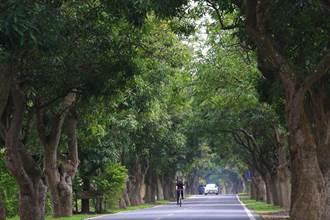 春遊台南養肺!泰國櫻花飄粉紅、綠色隧道「森」呼吸