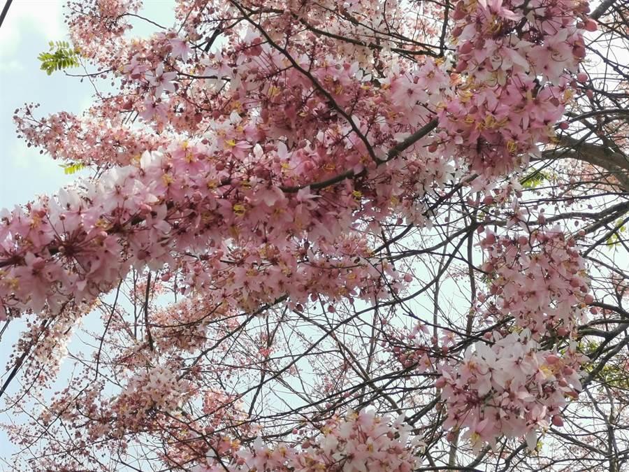 台南市南化區寶光聖堂花旗木花開了。(劉秀芬攝)
