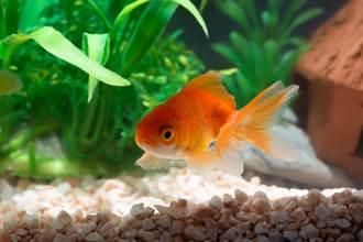 女養小金魚當寵物 2年後驚變食肉巨獸