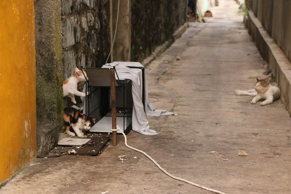 貓咪在誘捕籠附近徘迴。(台灣之心夜貓志工隊提供/陳世宗台中傳真)
