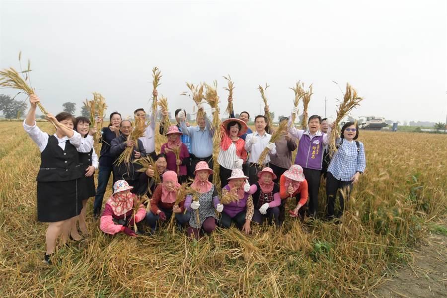 彰化縣政府為了提升糧食自給率,以契作方式鼓勵農民轉作小麥,目前彰化種植小麥面積已超過250公頃,其中大城鄉就佔約200公頃。(吳建輝攝)