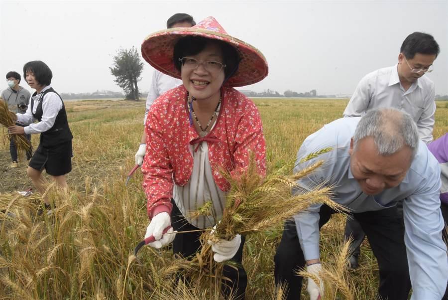 彰化縣長19日全副武裝,化身農婦採收小麥。(吳建輝攝)