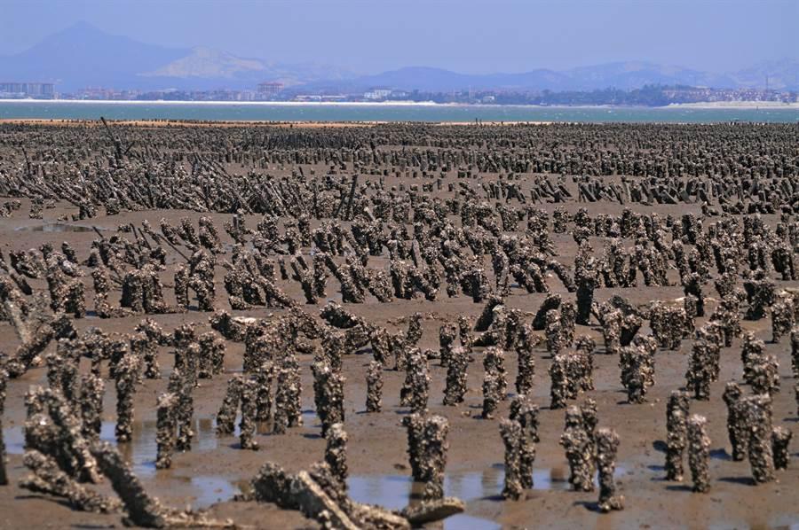 金門430多年歷史的石蚵養殖,形成「以海為田」特殊地景,古寧頭一帶蚵林更是遼闊壯觀。(李金生攝)