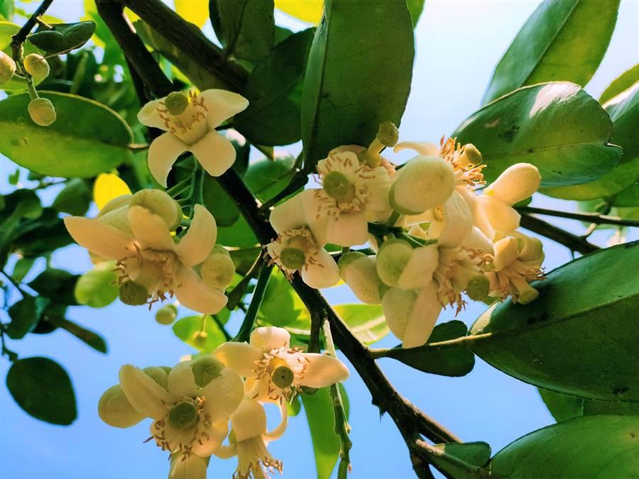 柚花開了,西湖柚子山清香四溢。(西湖鄉休閒產業發展協會提供/巫靜婷苗栗傳真)