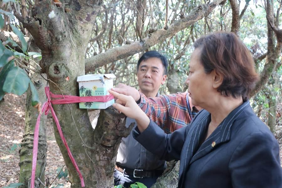 南投市長宋懷琳(右),釋放平腹小蜂防治荔枝椿象。(南投市公所提供/廖志晃南投傳真)