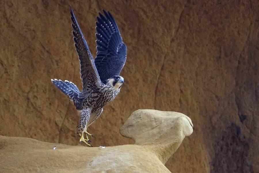 深澳遊準孵蛋超可愛!鳥會:守護遊準從你我做起。(基隆鳥會提供/吳康瑋基隆傳真)