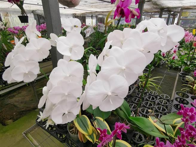 脣瓣超大的蝴蝶蘭正夯。(劉秀芬攝)