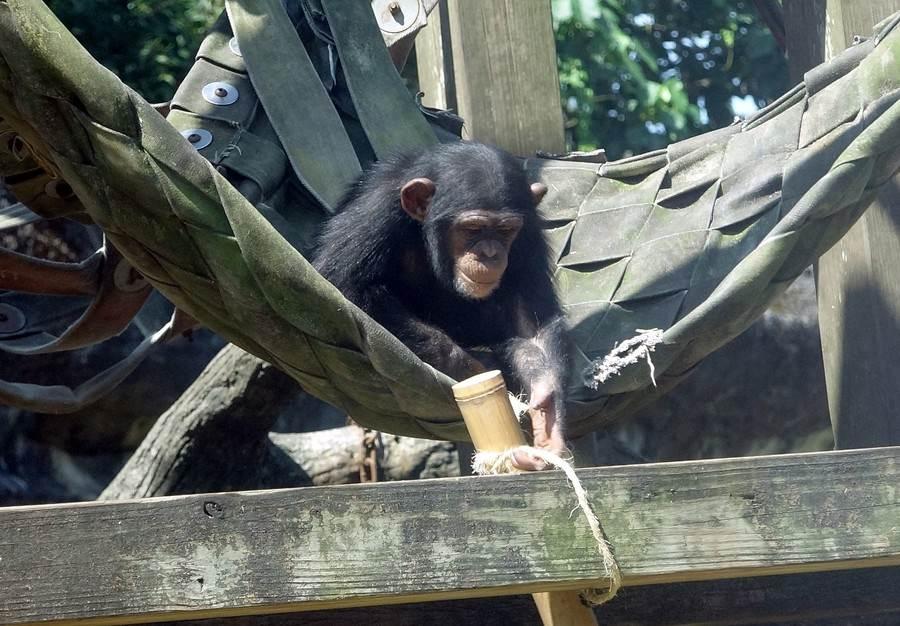 黑猩猩戶外活動場放置的竹筒裡,特別藏了黑猩猩最喜歡的零食。(台北市立動物園提供)