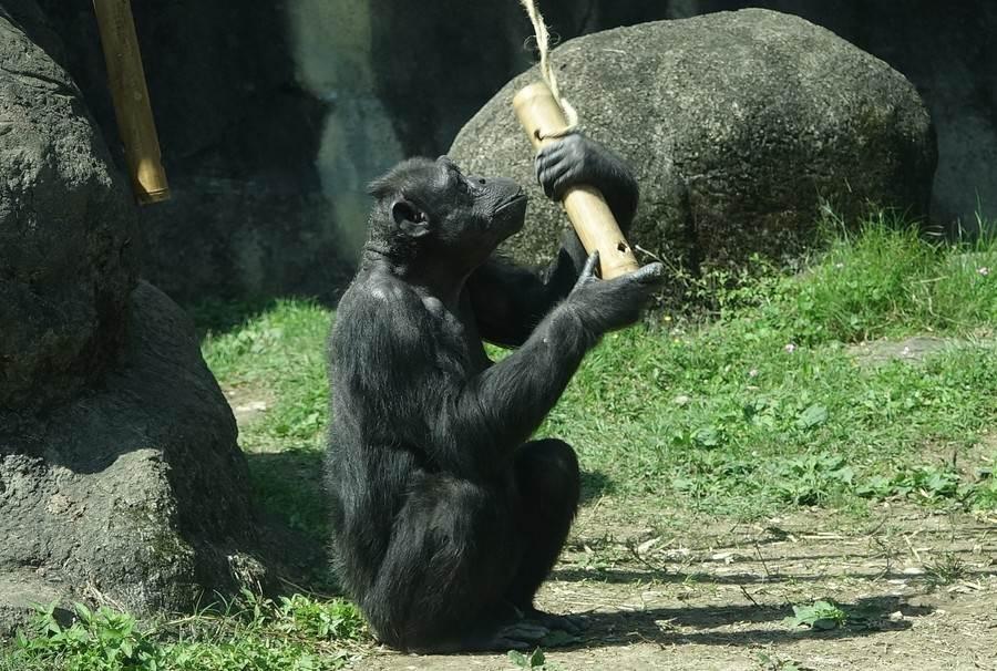 年長的母猩猩經驗豐富,牠們高舉竹筒不斷的搖晃,將嘴巴對準洞口,就開始吃起裡面的小零食。(台北市立動物園提供)
