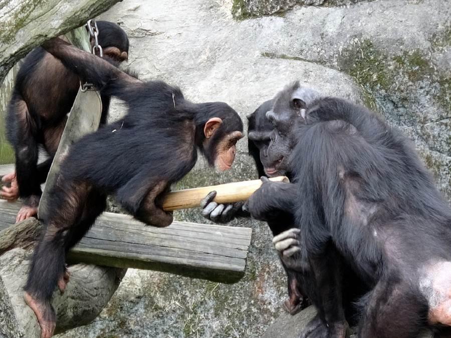 竹筒裡放著黑猩猩們最喜歡的零食。(台北市立動物園提供)