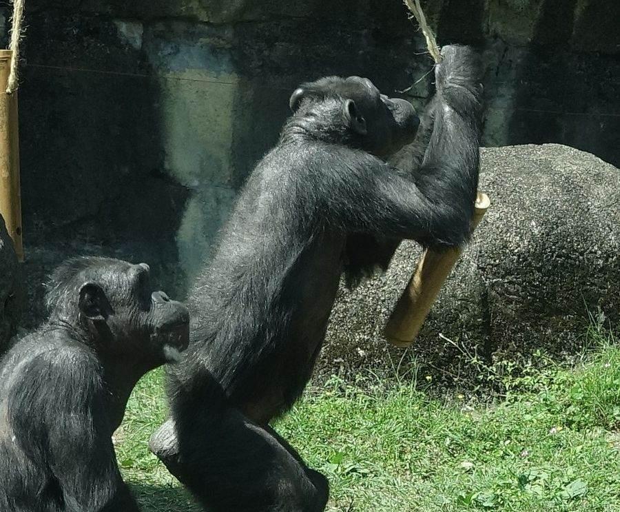 年輕的黑猩猩,只會用敲打、咬的方式,想要破壞竹筒,偏偏力氣不夠。(台北市立動物園提供)