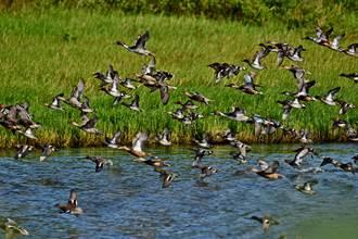 竹市春水鳥季來了!金城湖再現壯觀黑白潮