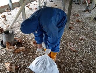 禽流感也拉警報 大城蛋中雞場撲殺2萬1680隻土雞