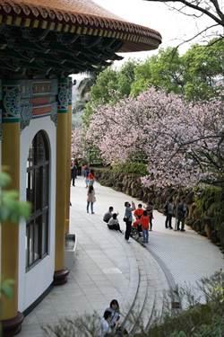 天元宮櫻花滿開現人潮 廟方關晚間賞櫻景觀燈