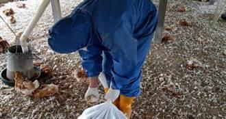 彰化大規模撲殺2萬隻雞 感染禽流感異常死亡