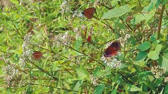 紫斑蝶群到訪雲林 每分鐘480隻