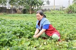 疫情蔬菜大滯銷 吉安鄉收購蔬菜孝敬長者