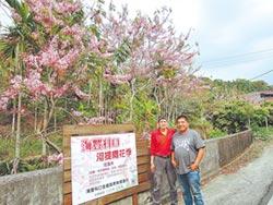 熱血村長 5年內種上千棵花旗木