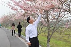 華醫湖畔花旗木美呆了 民眾爭相來賞花