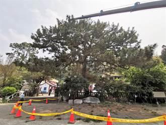 社頭三百年老樹舊疾復發 出動樹醫生吊點滴搶救