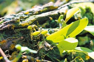該如何為綠命名(下)──漫步樹冠層,在升旗山棲息地