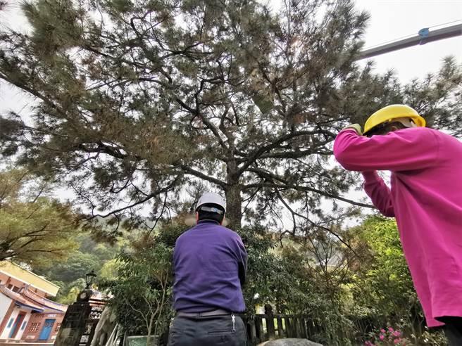 社頭鄉清水岩寺這顆台灣平地最大的松樹,樹高超過九米,樹齡達3百年以上,是彰化縣政府列管受保護樹木。(吳建輝攝)