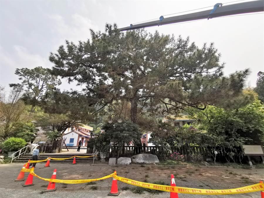 去年罹患「松材線蟲病」經過專業樹醫生治療後,恢復原本綠意的300歲二葉松,舊疾復發還染新病。(吳建輝攝)
