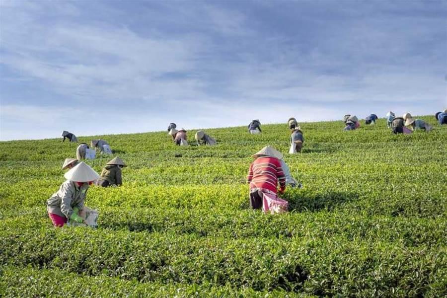 台灣本土茶葉中的有一種結構物質可抑制病毒增生,此研究成果能開啟更深入醫學研究,對疫情有幫助。(圖/Pixabay)