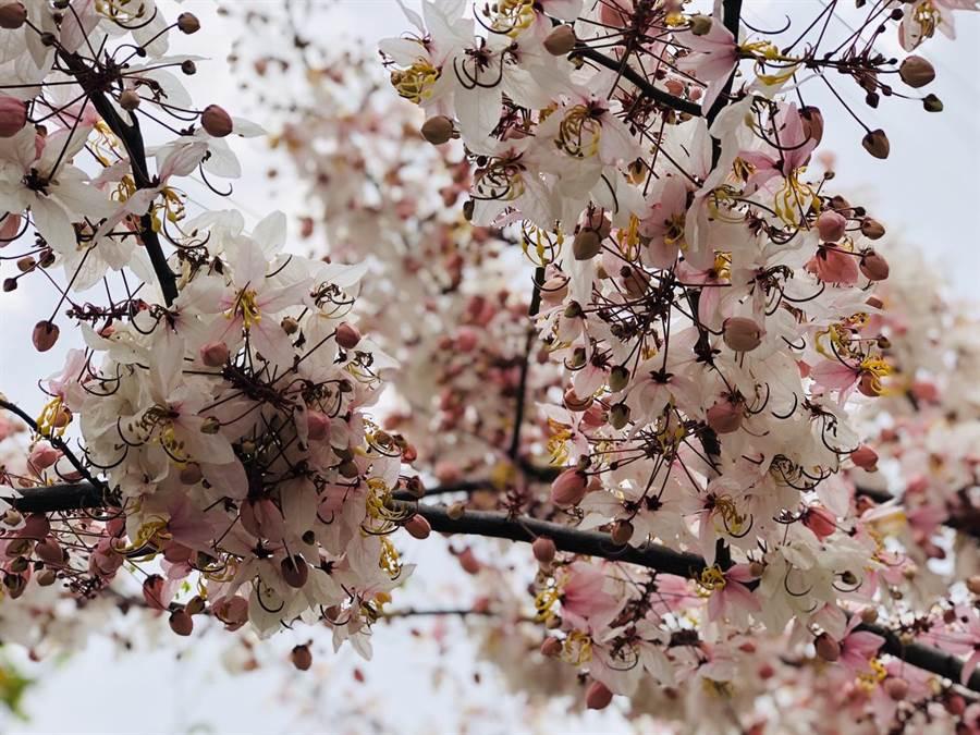 花旗木美麗身影吸引民眾。(曹婷婷攝)