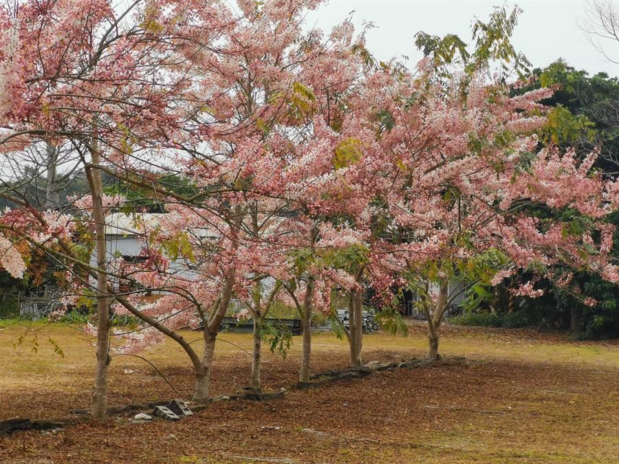龜丹水哥溫泉園區栽種上百株花旗木,現正盛開。(劉秀芬攝)