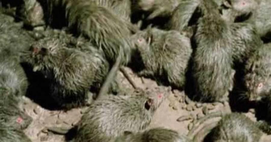 男子從雲南返回山東,沒想到途中突然身體不適,經送醫仍不治,甚至發現和鼠類有關的可怕病毒。(圖/News18)