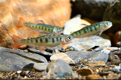 保育有成!櫻花鉤吻鮭27年首破萬尾