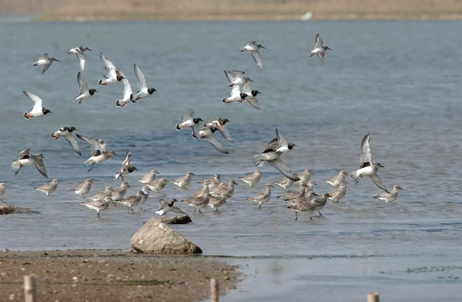 金門慈湖是國家級重要溼地,吸引大批水鳥來訪。(李金生攝)
