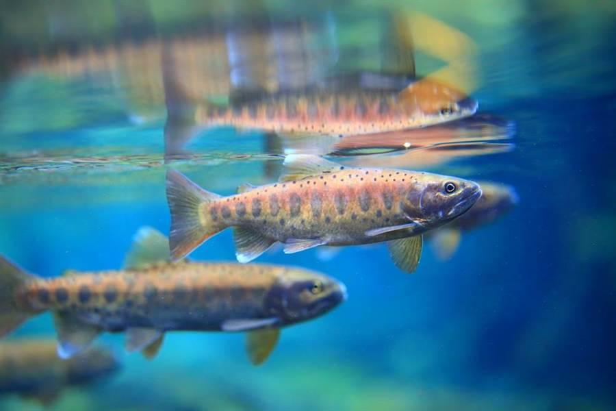 繁殖季節雄魚。(雪霸處提供/巫靜婷苗栗傳真)