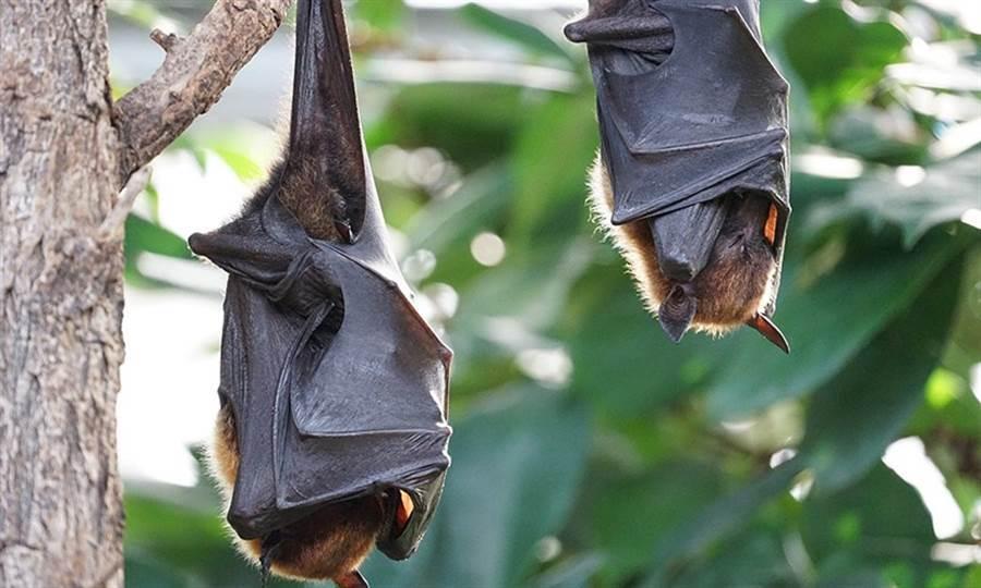 看過蝙蝠尿尿?畫面太衝擊網驚呆(圖片取自/達志影像)