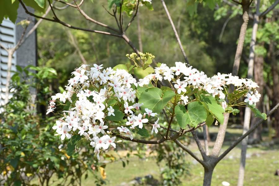 吉安南華林業園區種滿200多棵桐花樹,每到4月中旬桐花盛開,景色優美。(許家寧攝)