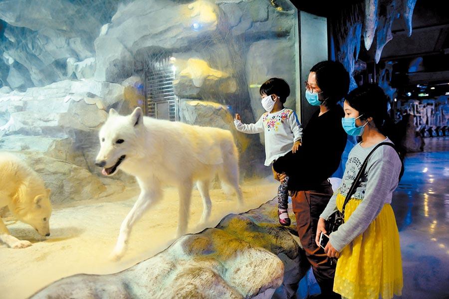 隨著多個省市恢復旅行社經營,景區、短程遊率先復甦,圖為20日,遊客在廣州正佳極地海洋世界觀賞北極狼。(中新社)